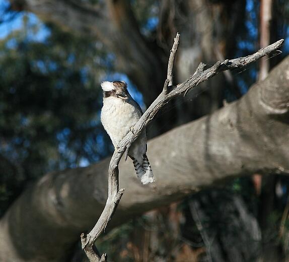 Kookaburra by annofsilhouette