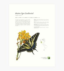 Western Tiger Swallowtail Infographic Art Print