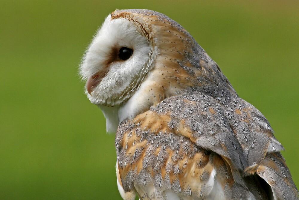 Barn Owl by hfaulkner