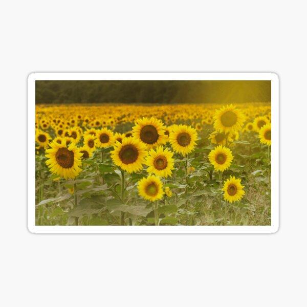 Sunlit field of Sunflowers Sticker