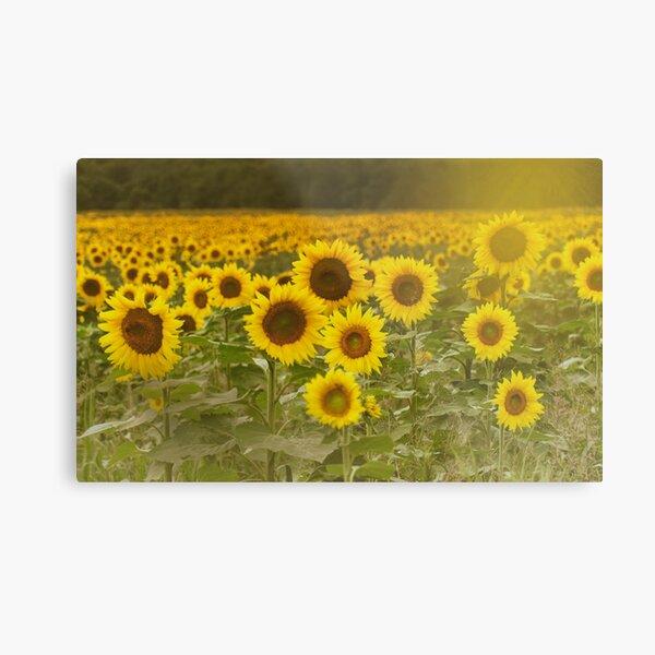 Sunlit field of Sunflowers Metal Print