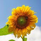 A busy bee on a Sunflower by Debra Fedchin