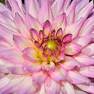 Dahlia flowers by olgart