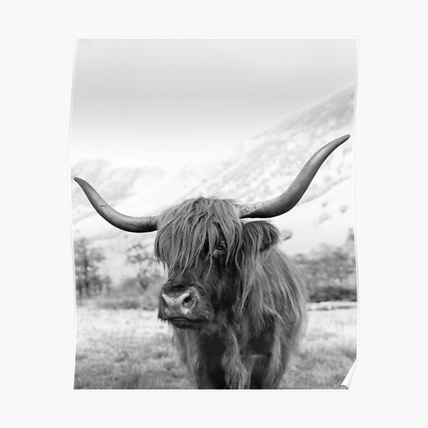 Portrait of a highland cow, Bull print Poster