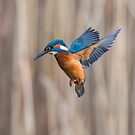Kingfisher hovering by Stephen Liptrot