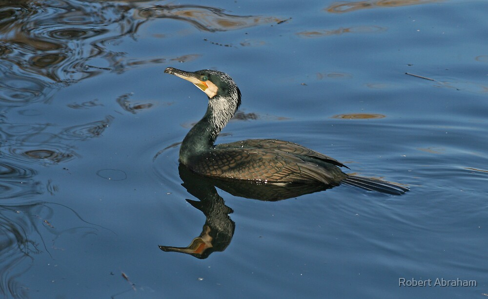 Cormorant by Robert Abraham