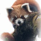 Wild red panda by Anthony Brewer
