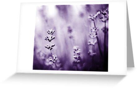 lavender dreams by Shilpa Shenoy