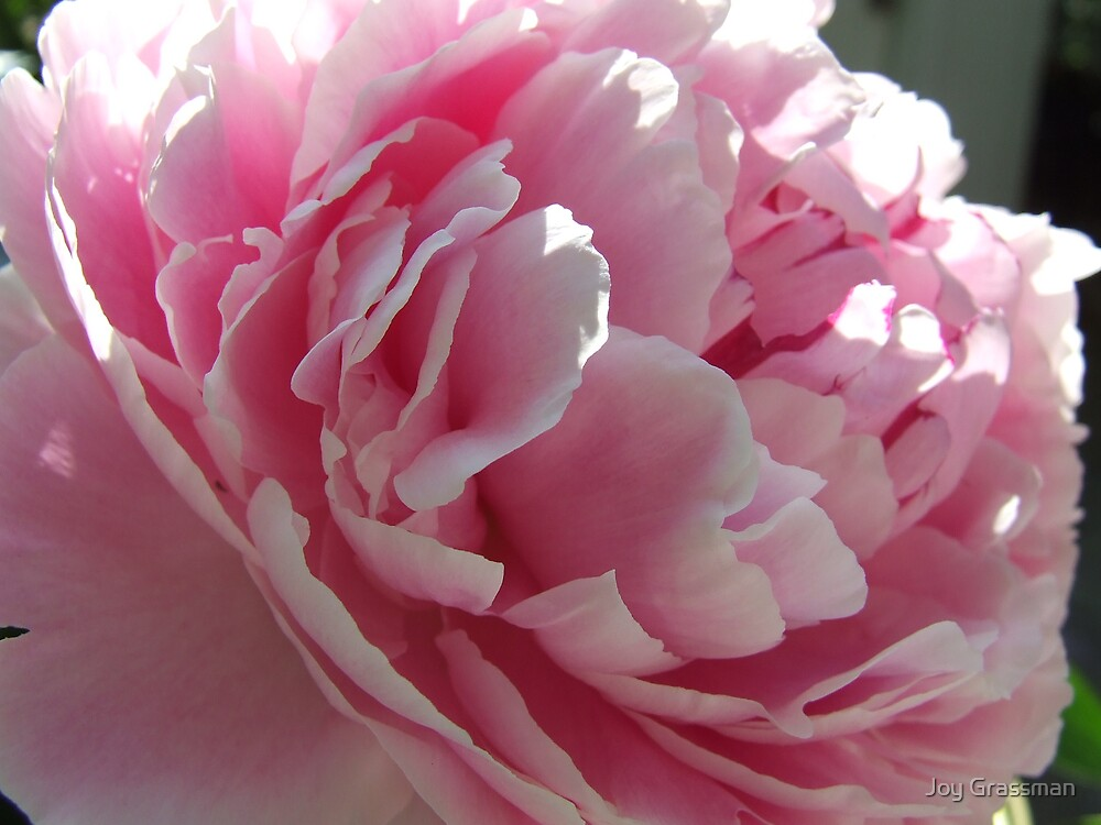 pink peony by Joy Grassman