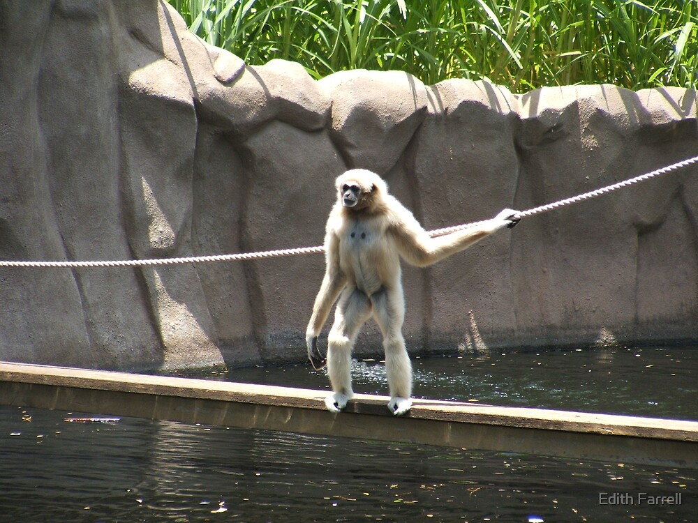 White Handed Gibbon by Edith Farrell