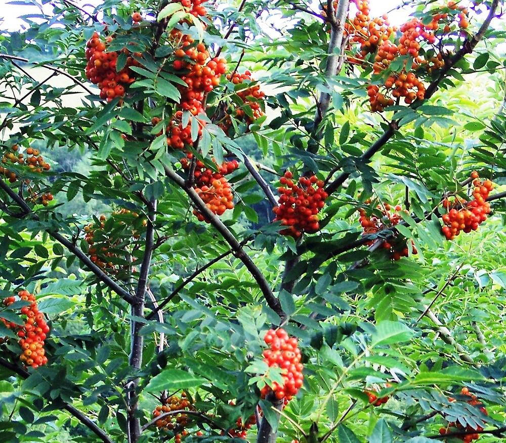Rowan Berries by Braedene