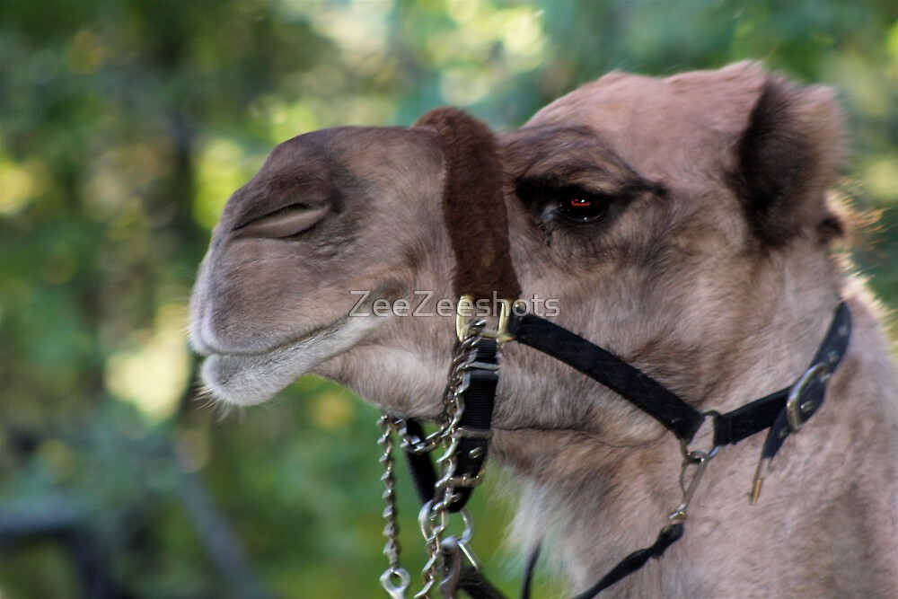 Camel by ZeeZeeshots
