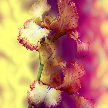 Iris by donkeynomad