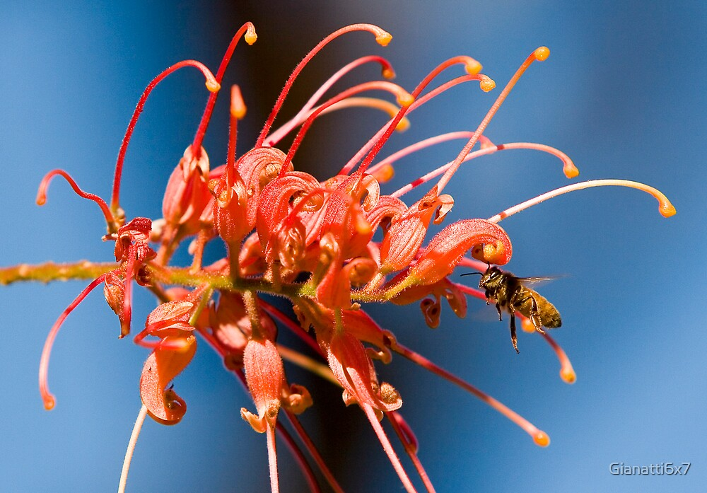 Bee vs Grevillea by Gianatti6x7