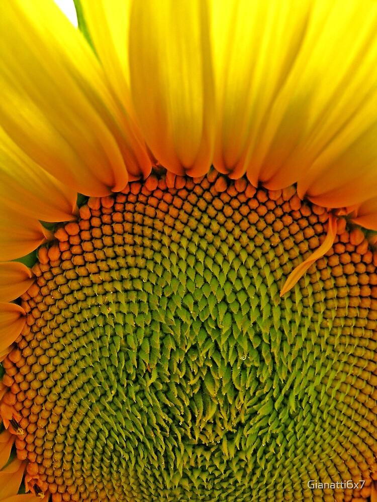 French sunflower by Gianatti6x7