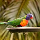 Rainbow Lorikeet 061 by kevin chippindall