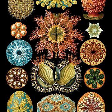 Haeckel-Illustration von monsterplanet