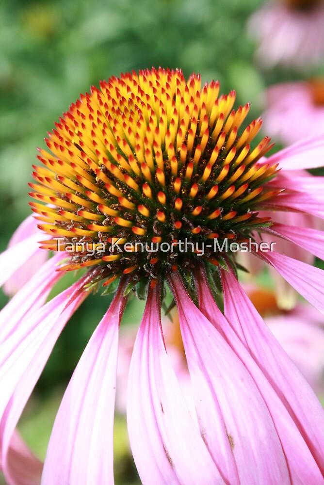 Echinacea  by Tanya Kenworthy-Mosher
