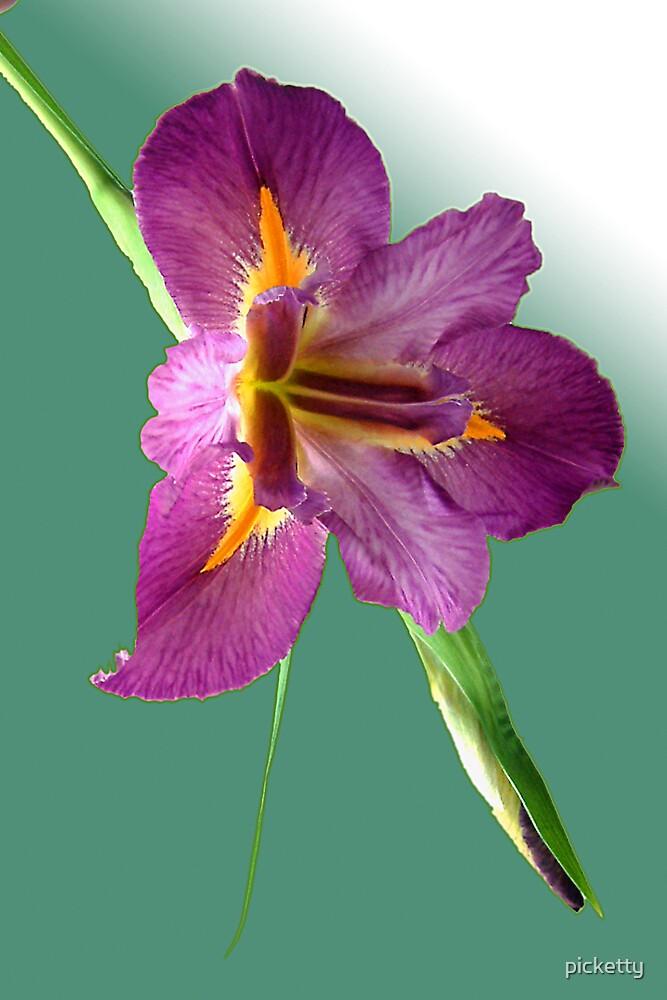 magenta louisiana iris by picketty