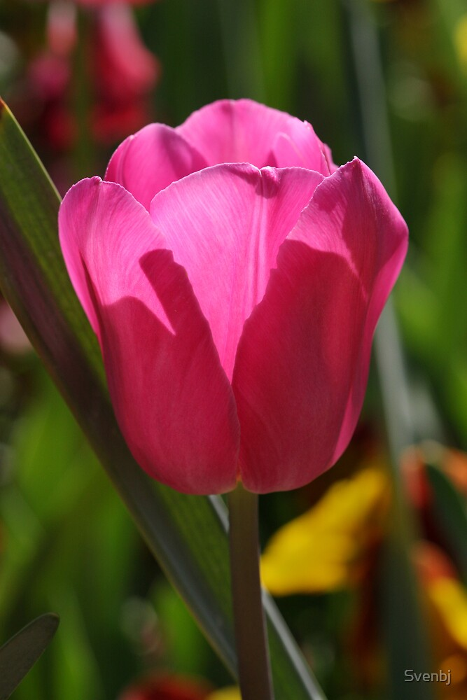 Sole Pink Tulip by Svenbj