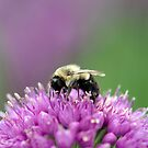 Ornamental Allium with Bee by Dency Kane