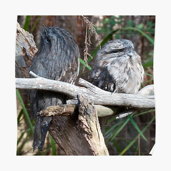 FROGMOUTH ~ Tawny Frogmouth by David Irwin ~ WO Poster