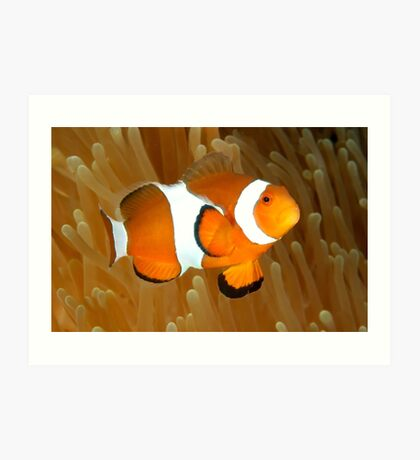 Western Clown Anemonefish Art Print