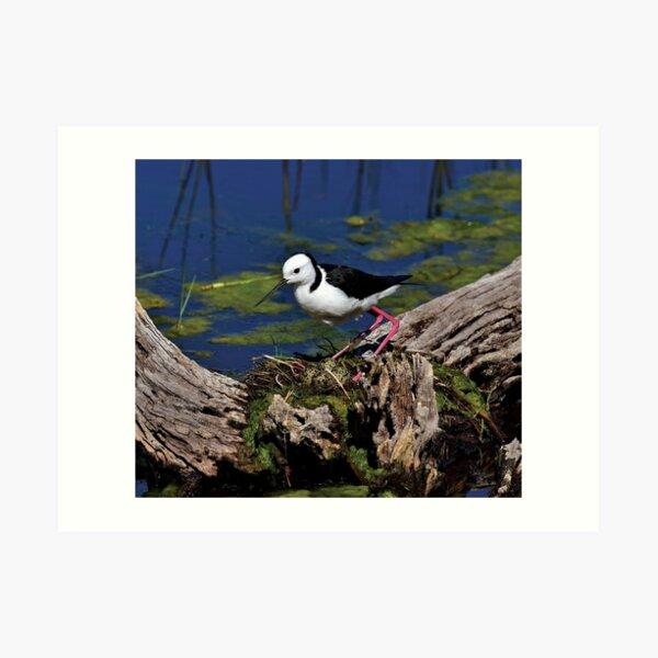 Black Winged Stilt with eggs in nest Art Print