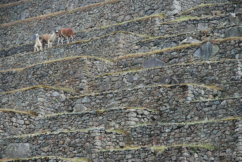 Llamas on the Terrace by sideways