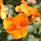 Pansy in Orange! by Lesley  Hill