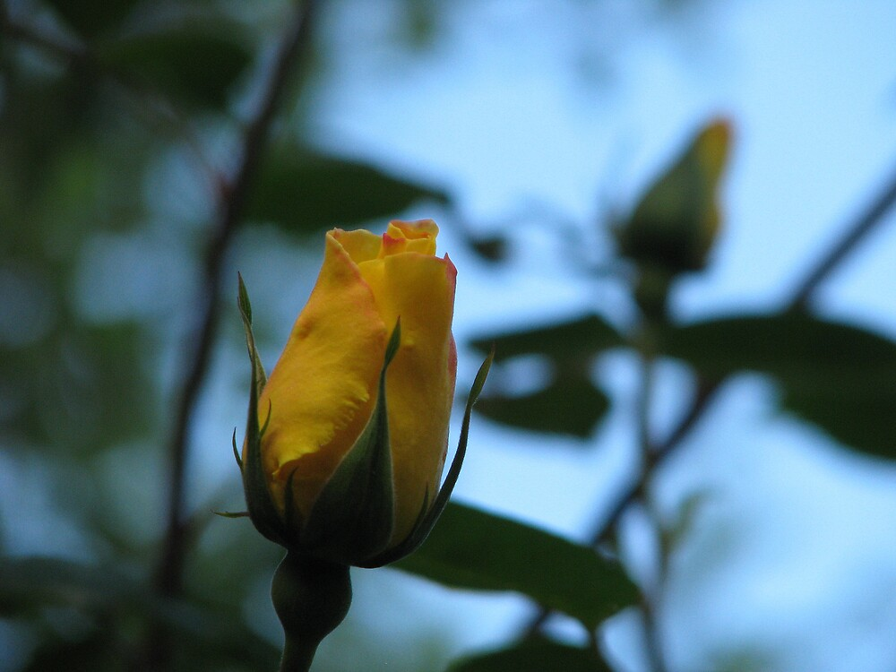 Yellow Rose by Robert Jenner