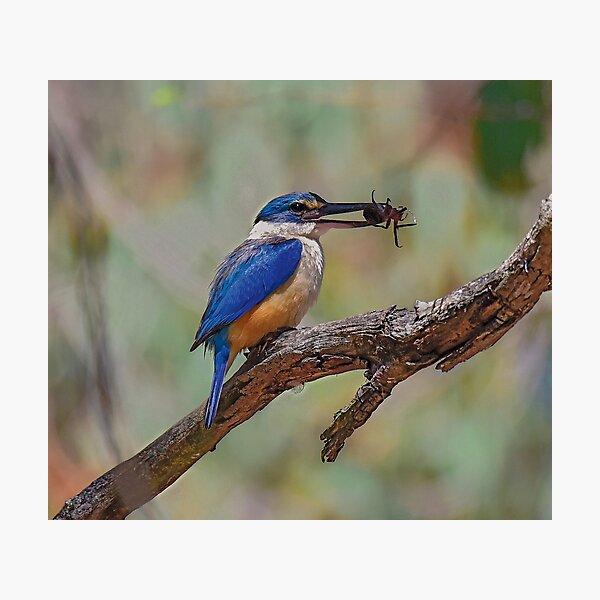 Sacred Kingfisher and huge spider Photographic Print