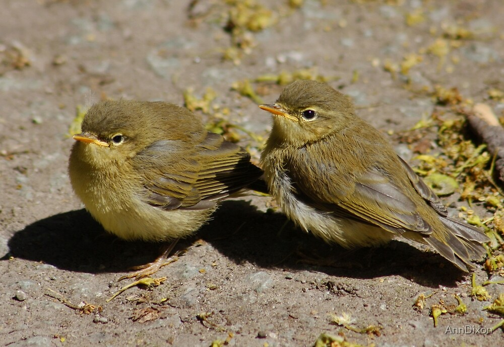 Baby Wood Warbler's by AnnDixon