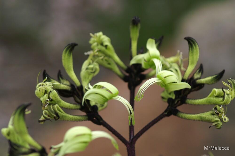 Native Wild Flowers of Western Australia by MrMelacca