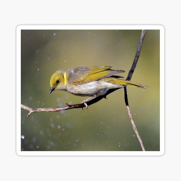 Bath time- Yellow Plumed Honeyeater Sticker