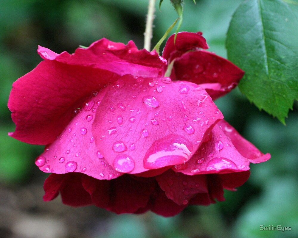 Red Rose After Rain by SmilinEyes