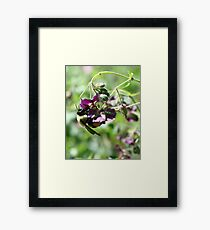 Bumble Bee With Pollen Framed Print