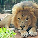 Lion Stare by Prismatique