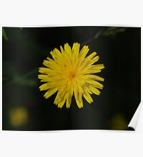 Common Dandelion (Taraxicum officinale) Poster