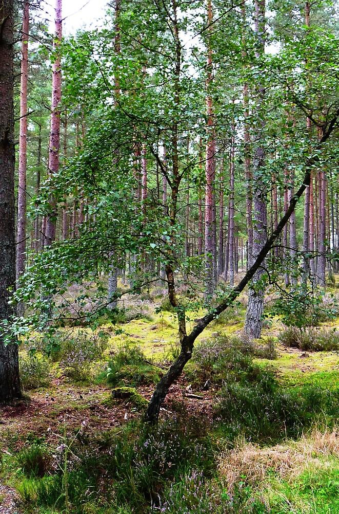 Pine Forest Walk by Braedene