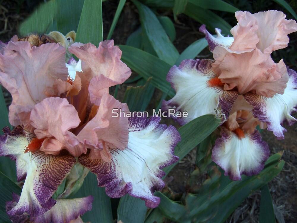 Iris 13 by SharonD