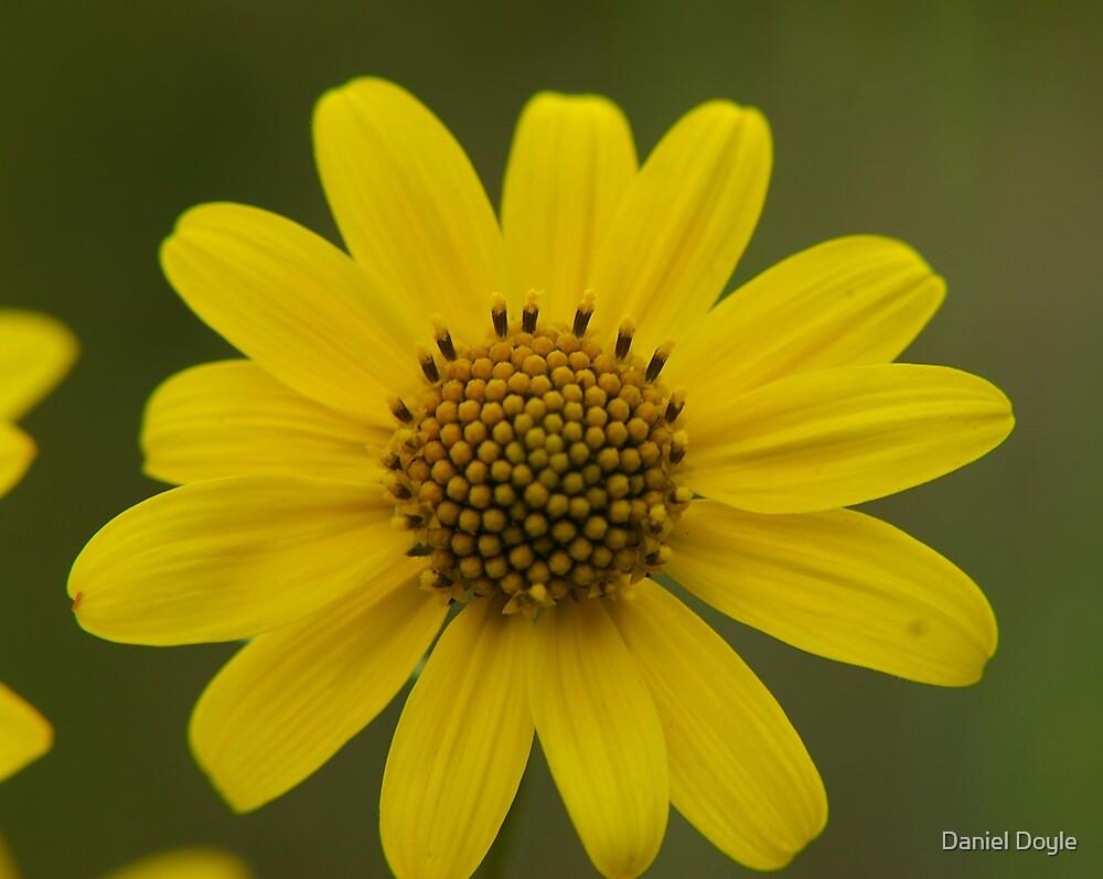 Dwarf Sunflower by Daniel Doyle