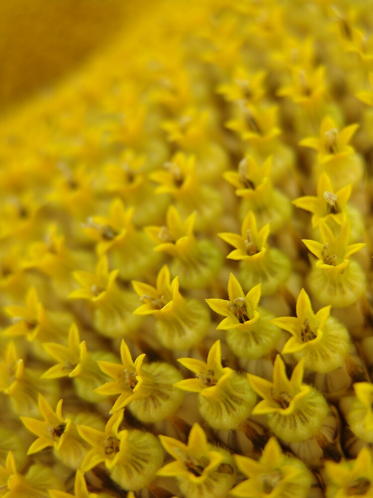 Sunflower Detail by Chris Filer