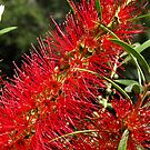 Red Callistemon by Bev Pascoe