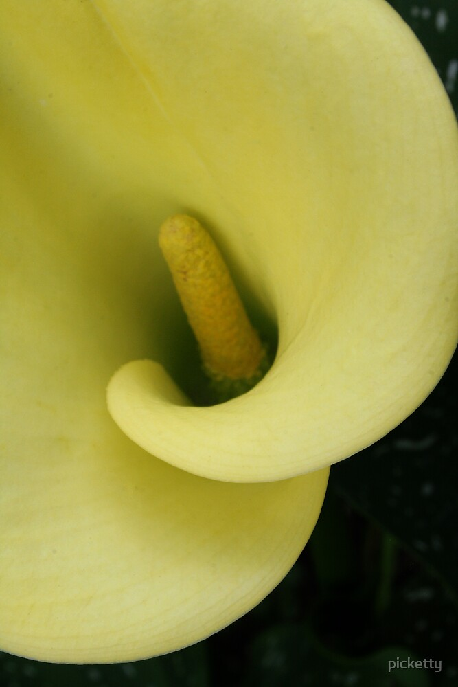 Calla Lemon by picketty