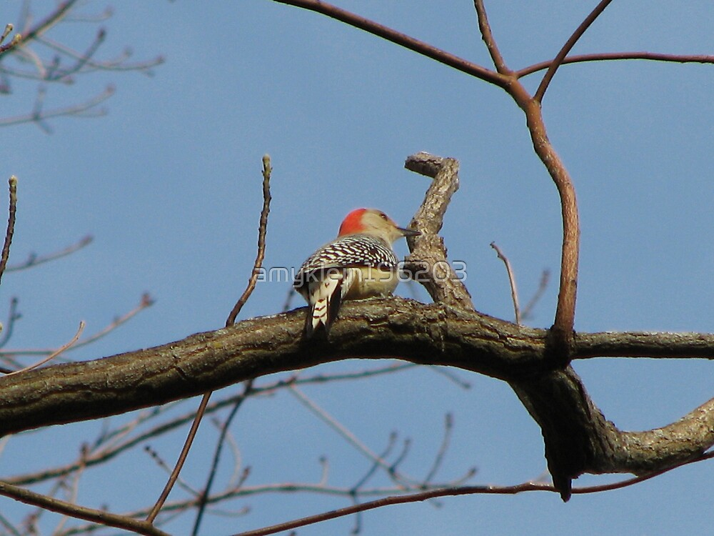 Red-bellied Woodpecker by amyklein196203