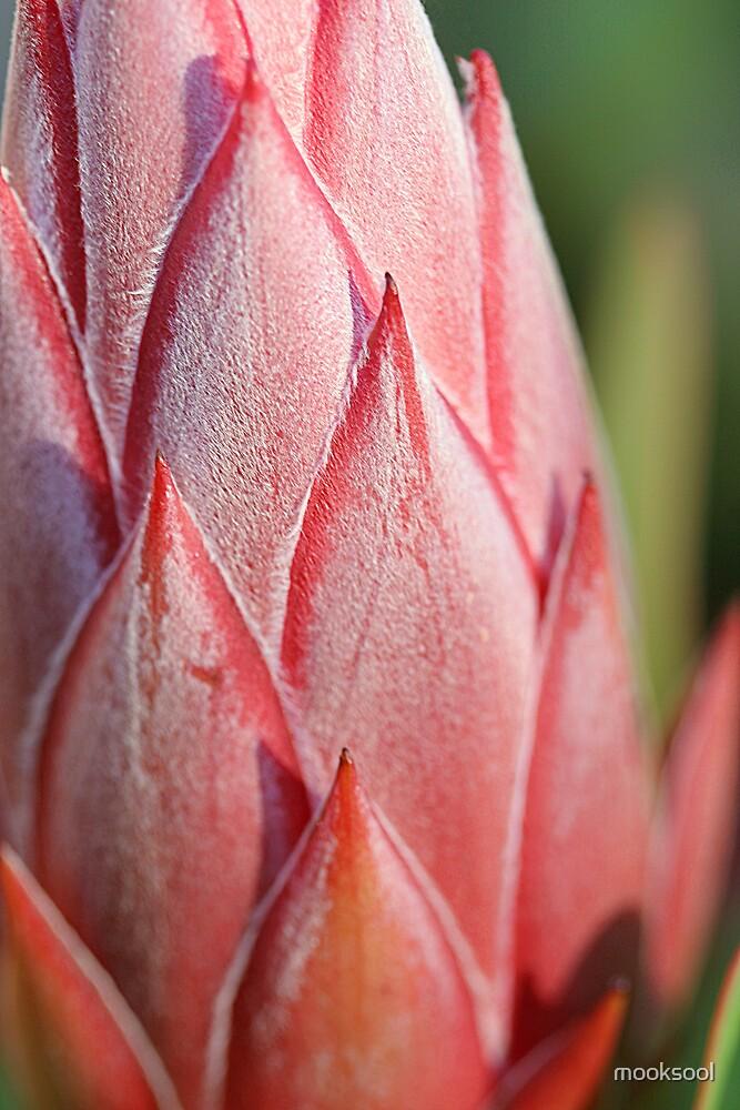 Protea bud side detail by mooksool