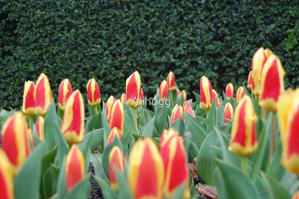 Tulips in Ireland by Alihogg