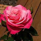 The perfect pink Rose.......!! by Roy  Massicks