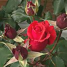 A red Rose between the Buds........!! by Roy  Massicks